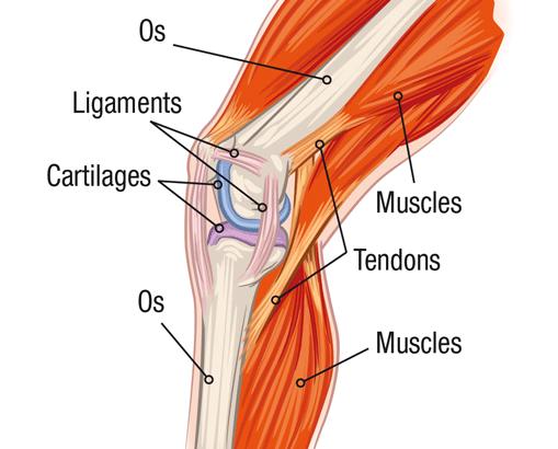 schéma genoux